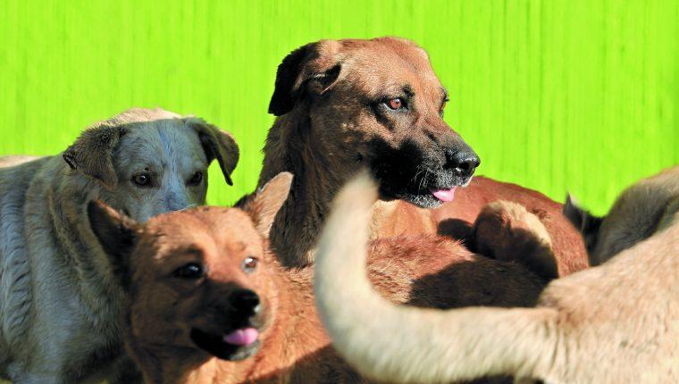 Los coronavirus que afectan a los perros son distintos al covid-19.(Foto Prensa Libre: Hemeroteca PL)