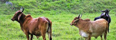 De acuerdo con un estudio de la Universidad de Texas, la ganadería ligada al narcotráfico es una de las principales causas de la deforestación en la Reserva de la Biosfera Maya, en Petén. (Foto
