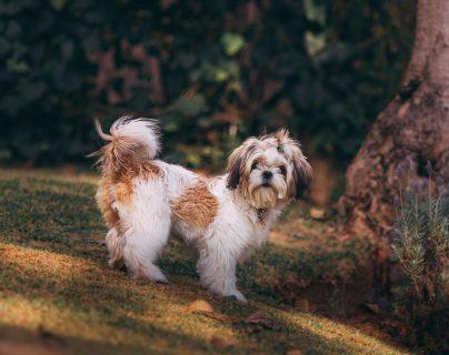 Al sacar al perro a la calle este  defeca, dele un  premio para que sepa que hizo algo bien, limpie el área y camine unos minutos más y no regrese de inmediato a casa.  (Foto Prensa Libre: Helena Lopes en Pexels).