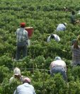 Miles de guatemaltecos que trabajan en EE. UU. se dedican a la agricultura. (Foto Prensa Libre: Hemeroteca)
