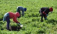 """USA809. OXNARD (CA, EEUU), 31/03/2020.- Una campesina ataviada con guantes de látex, gorras, sombreros y pañuelos de tela cubriéndoles la boca y nariz trabajan en un campo de cultivo de cilantro el 28 de marzo en Oxnard, California. Los trabajadores del campo figuran en la lista de empleos esenciales que en medio de la pandemia del coronavirus pueden seguir trabajando y así llevar """"alimentos frescos a los mercados"""", pero reclaman protecciones para desarrollar su """"prioritaria"""" labor. EFE/Iván Mejía"""