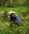 Un productor de hierbabuena en su sembradío en Jocotán, Chiquimula, un municipio tradicionalmente golpeado por las sequías, pero que este año ha visto abundancia de lluvias. (Foto Prensa Libre: EFE)
