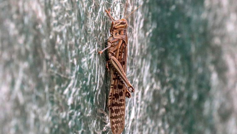 La plaga de langostas es una amenaza para la seguridad alimentaria en plena pandemia de coronavirus. (Foto Prensa Libre: EFE)