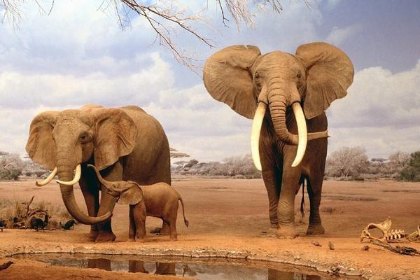 Los elefantes son víctimas de la caza furtiva. (Foto Prensa Libre: Hemeroteca PL).