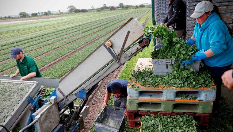 (Imagen de referencia) Los trabajadores agrícolas son esenciales para asegurar el suministro de alimentos. (Foto Prensa Libre. AFP)