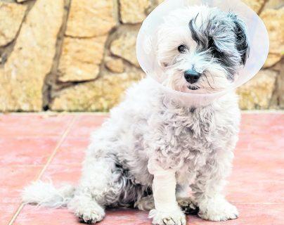 Un estudio retrospectivo de perros castrados, tanto machos como hembras, encontró que el 27.3% mostró comportamiento sexual después de la cirugía.  (Foto Prensa Libre: Shutterstock)