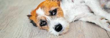 La mayoría de las mascotas podrían sufrir envenenamiento por error, al consumir medicamentos como ibuprofeno o paracetamol. (Foto Prensa Libre: Shutterstock).