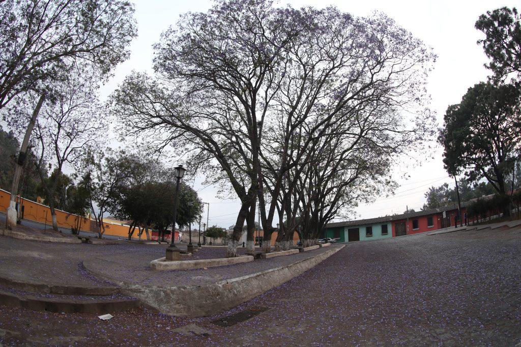Las hojas de Jacaranda relucen impecables en el parque Isabel La Católica, Antigua Guatemala, debido a que las personas no caminan por el lugar en los días de confinamiento. Foto Prensa Libre: Óscar Rivas