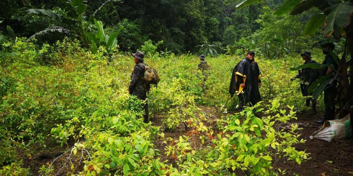 Autoridades localizan laboratorio clandestino de drogas y plantación de hoja de coca en Izabal