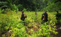 Plantación de hoja de coca localizada en Lívingston, Izabal, para la producción de cocaína en laboratorio clandestino. (Foto Prensa Libre: Cortesía)