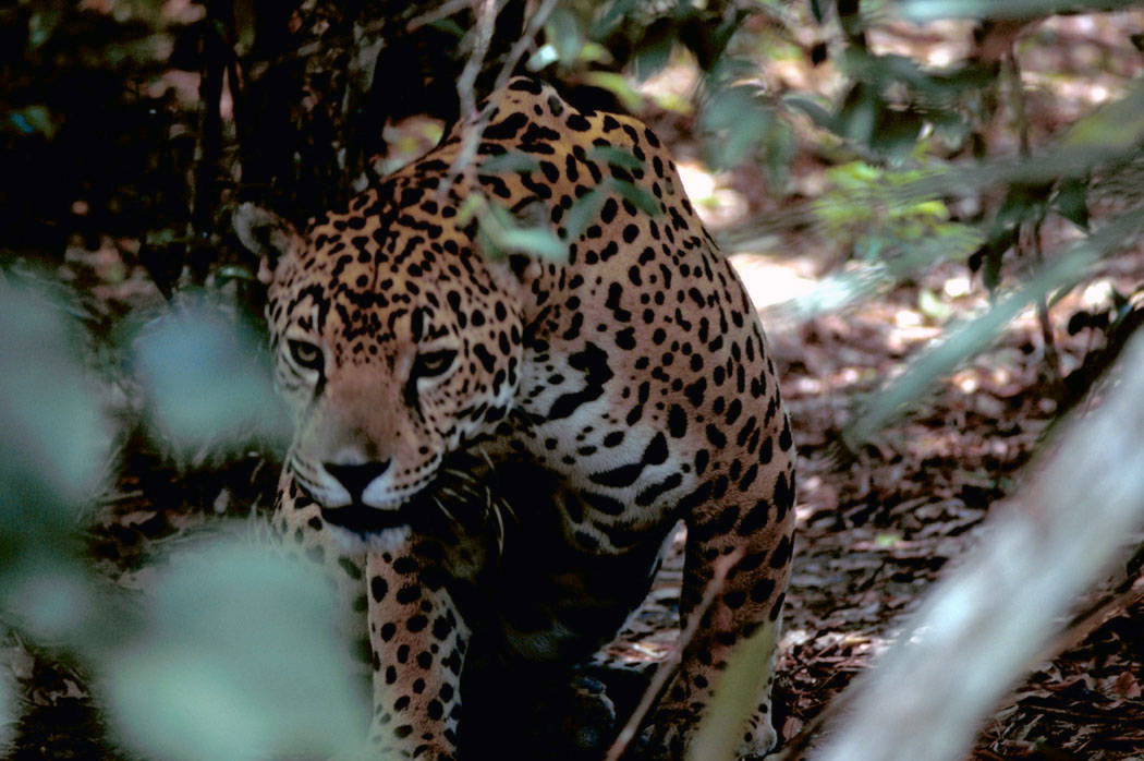 La caza furtiva de jaguares aumenta en Sudamérica y Centroamérica