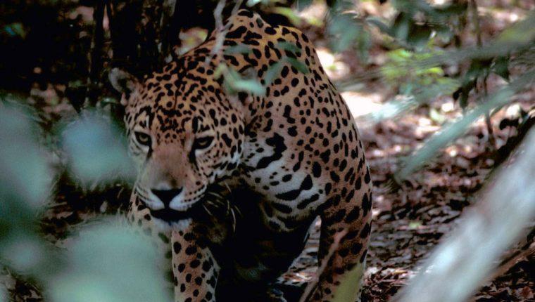 La caza furtiva de los grandes felinos está en aumento, y un nuevo estudio vincula su matanza a la corrupción, así como a la invitación de las empresas chinas. (Gary Stoltz / Servicio de Pesca y Vida Silvestre de EE. UU. A través de The New York Times)