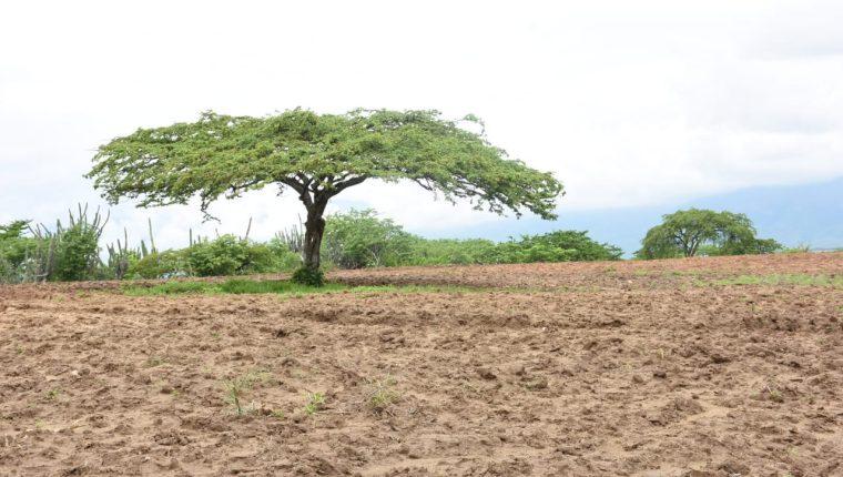 El guayacán es una de las especies características de los bosques espinosos de Zacapa. (Foto Prensa Libre: Wilder López)