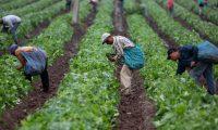AME1570. MICHOACÁN (MÉXICO), 08/06/2019.- Trabajadores agrícolas recogen la cosecha ayer viernes, 7 de junio de 2019, en el estado de Michoacán (México). La imposición del 5 % de aranceles desde este 10 de junio a todos los productos mexicanos por parte de Estados Unidos habría puesto en jaque a la economía de México y, especialmente, a dos sectores, el automotriz y el agrícola. Sin embargo, ambos Gobiernos alcanzaron este viernes un acuerdo para frenar los flujos migratorios que ha evitado que el presidente estadounidense, Donald Trump, materialice su amenaza. EFE/ Luis Enrique Granados Cacari