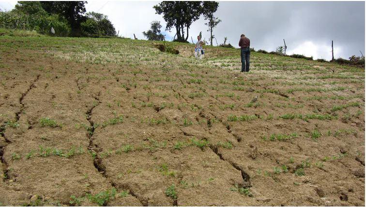 Parcela de cultivo de arveja afectada por una intensa erosión hídrica en Tecpán (Guatemala). Las tasas más elevadas de erosión, a escala global, se están produciendo principalmente en las montañas cultivadas de latitudes tropicales. (Foto Prensa Libre: Rafael Blanco)
