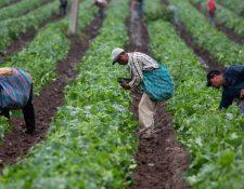 Impacto del covid-19 en el sector agrícola incluye menor producción, ventas, cancelación de contratos de compra y pérdida de empleos. (Foto, Prensa Libre: Hemeroteca PL).