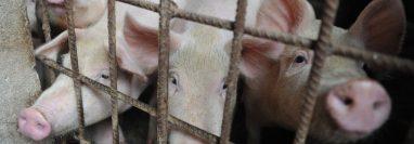 En China identificaron un nuevo virus de la gripe que portan los cerdos con html5-dom-document-internal-entity1-quot-endpotencial pandémicohtml5-dom-document-internal-entity1-quot-end.