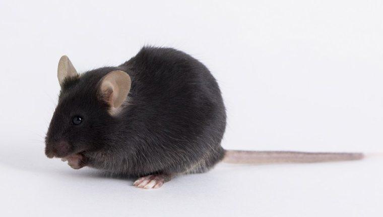 El ratón utilizado en la investigación del nuevo coronavirus se denominó k18-hACE2