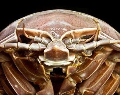 El Bathynomus raksasa se encuentra entre las ocho especies conocidas de isópodos supergigantes.