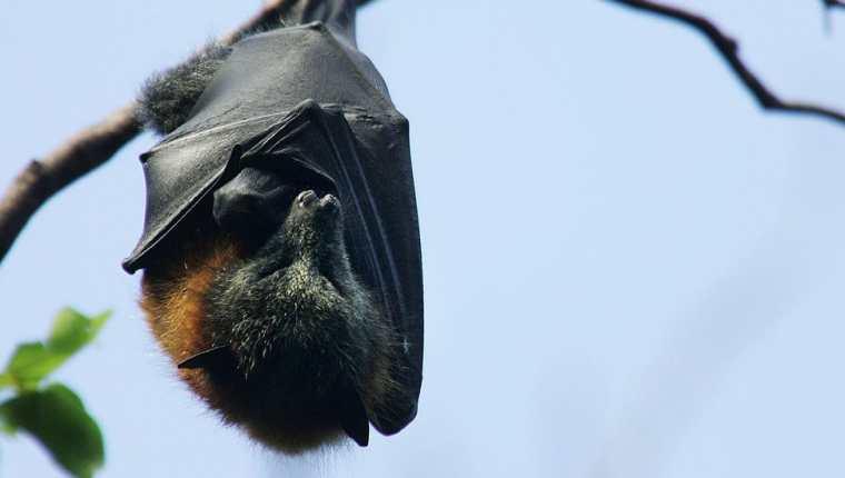 Esta conducta descubiertas en murciélagos también es aplicada por otras especies. Fotografía: Picture Agency.