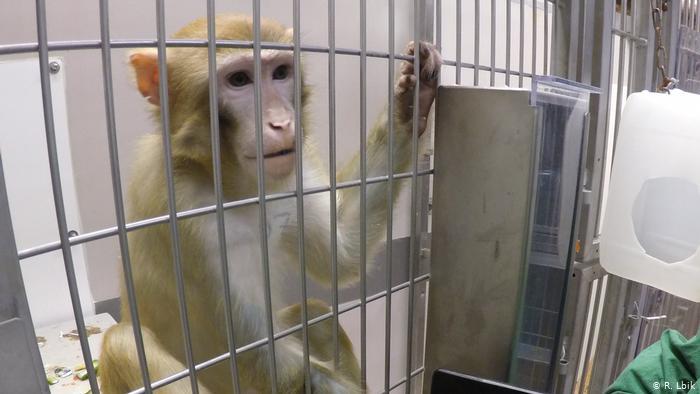 Mono verde utilzado en ensayos en el Departamento de Biología de Infecciones (DPZ) de Gotinga, Alemania. (Foto Prensa Libre: Deutsche Welle)