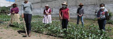 Mujeres y hombres trabajan en los huertos de amaranto y haba, en algunos casos les prestan terrenos para la producción que se usará en niños con desnutrición. (Foto Prensa Libre: María Longo)