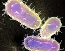 Microfotografía electrónica de Yersinia pestis la bacteria causante de la peste bubónica o peste negra, que ha causado terribles pandemias. Se transmite al humano por la picadura de las pulgas infectadas de las ratas. (Foto Prensa Libre: Hemeroteca PL)