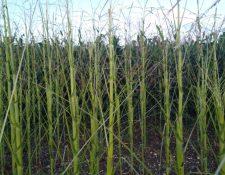 Áreas de cultivo de maíz han sido afectadas por la langosta centroamericana en Las Cruces, Petén. (Foto Prensa Libre: Cortesía Cooperativa Agrícola Integral Las Cruces RL)
