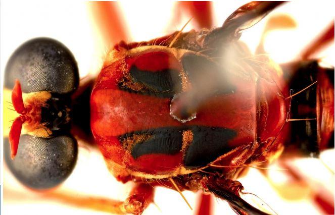 Las marcas en la espalda de la mosca Deadpool son semejantes a la máscara del superhéroe de Marvel que lleva el mismo nombre. (Foto Prensa Libre: EFE)