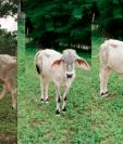 Vaca Sanarate