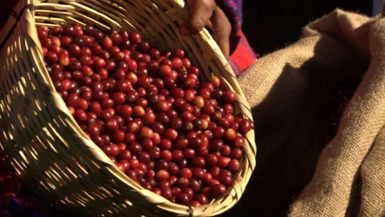 En el año cafetalero 2018-2019 (de octubre a septiembre), las exportaciones de café fueron de 4.63 millones de sacos de 46 kilos y generaron un ingreso de US$663.62 millones. (Foto Prensa Libre: Hemeroteca)