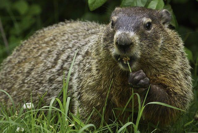 Se cree que haber comido marmota fue el origen del contacto con esos dos hermanos. (Foto Prensa Libre: Servicios)