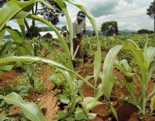 El precio del maíz se incrementó con la pandemia del covid-19, lo que complica la crisis alimentaria que se vive en el país. (Foto Prensa Libre: Hemeroteca PL)