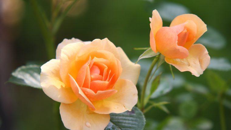 Las rosas mantienen todo el año su floración. Necesitan de ciertos cuidados. (Foto Prensa Libre: Pexels-Pixabay).