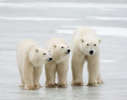 El calentamiento global podría llevar a la extinción de los osos polares, según estudio. (Foto Prensa Libre: AFP)