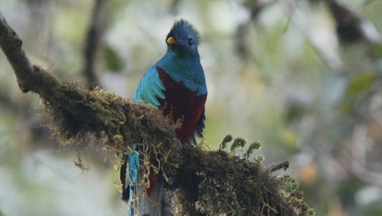 """El fruto del árbol de aguacatillo es uno de los predilectos del quetzal guatemalteco (""""Pharomachrus mocinno""""), que ha sido avistado en montañas de Alta y Baja Verapaz, Quiché y  San Marcos. (Foto Prensa Libre: Hemeroteca)"""