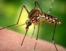 Los mosquitos Aedes aegypti están en el centro de la polémica en Estados Unidos.
