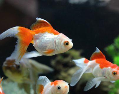 ¿Cómo saber si mi pez está enfermo?