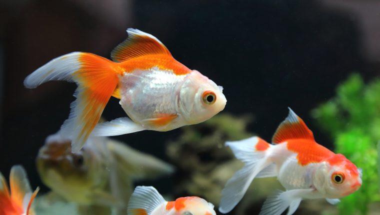 La mayoría de enfermedades en los peces se producen por parásitos y estrés. Estas se detectan mediante la observación. (Foto Prensa Libre: Shutterstock).