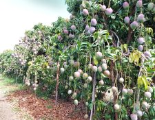 La exportación de frutas bajó un 2.3%; el mango fue el más afectado. El monto a mayo fue de US$146.1 millones. (Foto Prensa Libre: Cortesía)