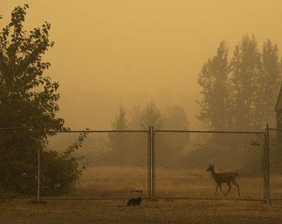 Un ciervo camina a lo largo de una cerca en el borde de la ciudad después de que los residentes fueron evacuados en Molalla, Oregon. (Foto Prensa Libre: AFP)