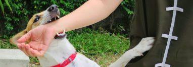 Los perros son los animales responsables de la mayoría de casos de transmisión de rabia en el mundo, cuando muerden  a humanos o su saliva tiene contacto con lesiones. (Foto Prensa Libre, ShutterStock)