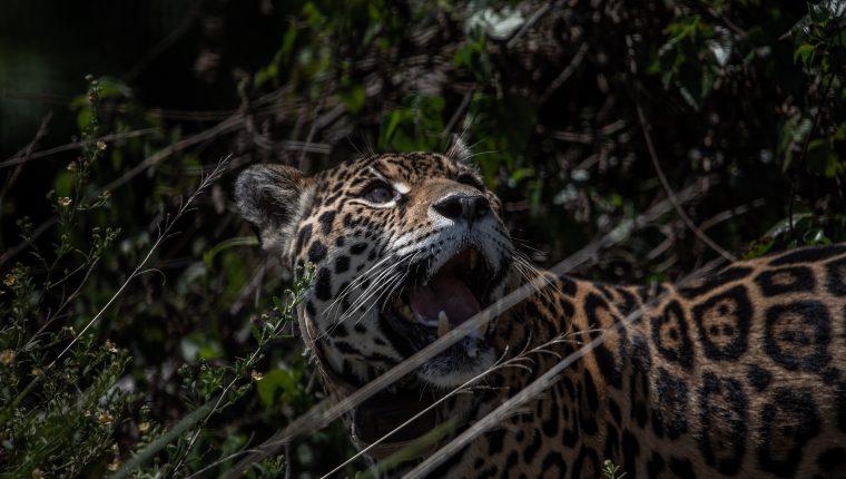 Isis en un corral de pre-liberación en el Parque Nacional Iberá, en Corrientes, (Foto Prensa Libre: Victor Moriyama/The New York Times)