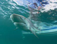 ONG alerta que la carrera por la vacuna contra el coronavirus puede poner en riesgo la existencia de especies de tiburones. (Foto Prensa Libre: EFE)
