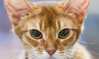 """ARCHIVO - Cuando el gato gruñe, la señal es clara:""""Ni te me acerques"""". Foto: Kirsten Neumann/dpa-tmn"""