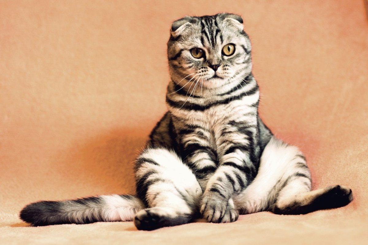Enfermedades mentales más comunes de los gatos