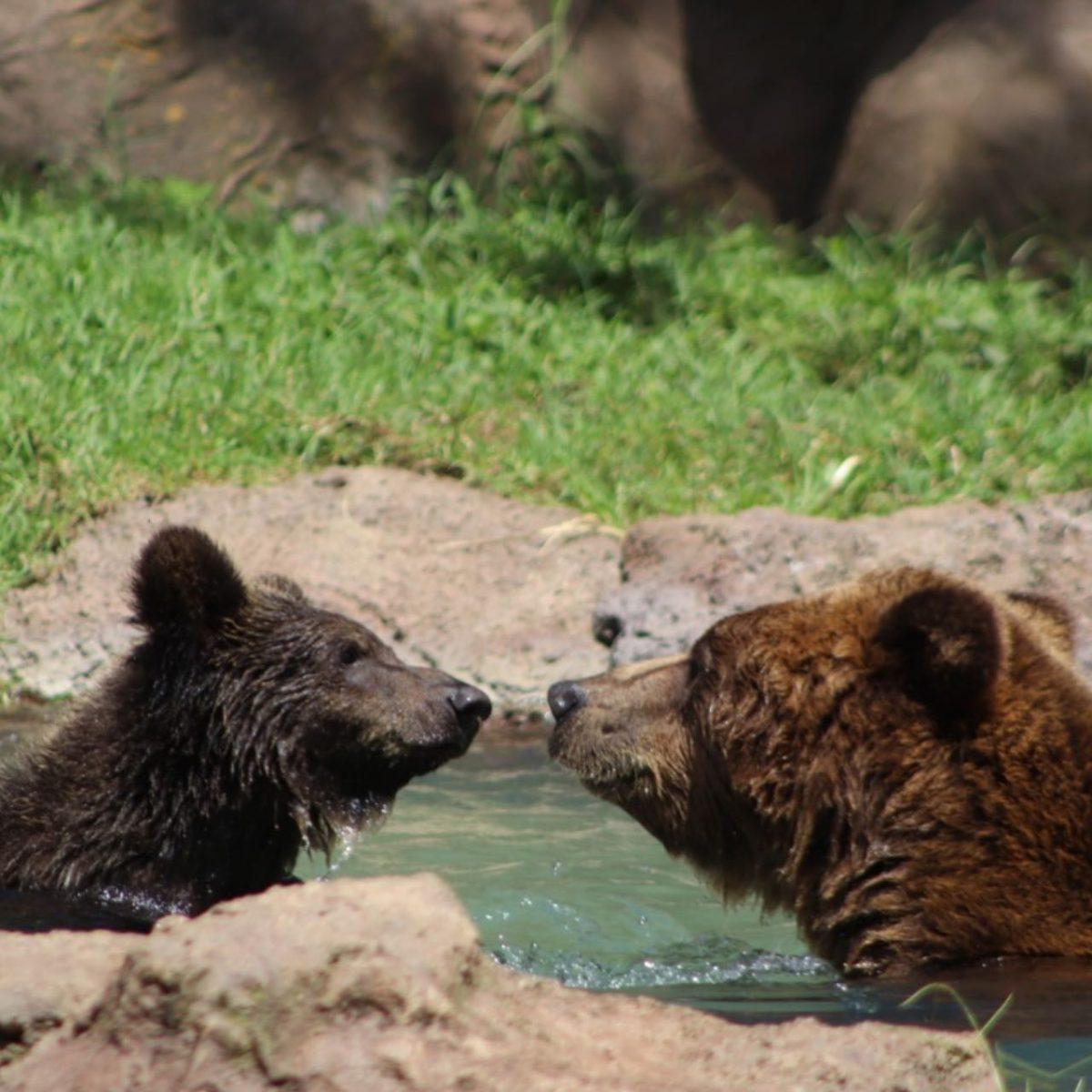 Koda es el nuevo nombre del osezno que vive en el Zoológico La Aurora