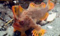 """El pez de manos rojas es uno de los que """"caminan"""" por el lecho marino frente a las costas de la isla de Tasmania, Australia. (Foto Prensa Libre: EFE)"""