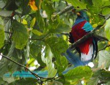 El quetzal habita en los bosques nubosos del país. (Foto Prensa Libre: Cortesía Conap)