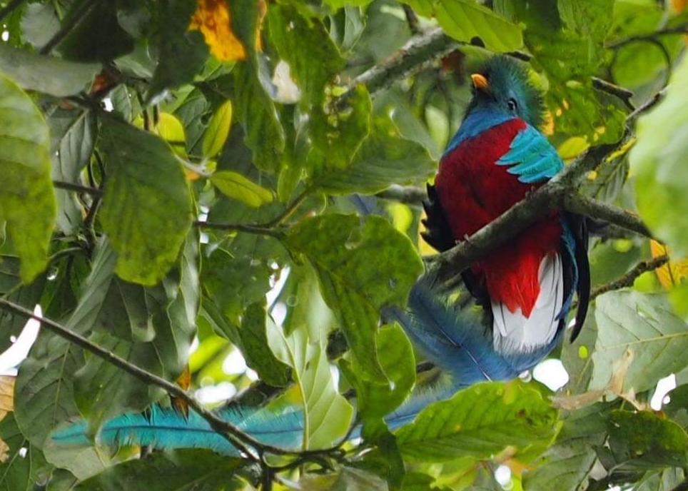Guatemala celebra el Día del Quetzal, una especie que lucha contra la extinción y la pérdida de su hábitat